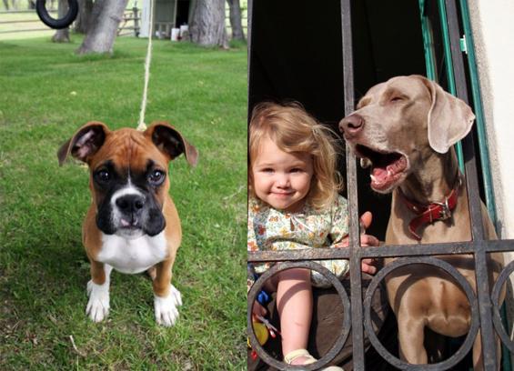 boxer-kid-dog
